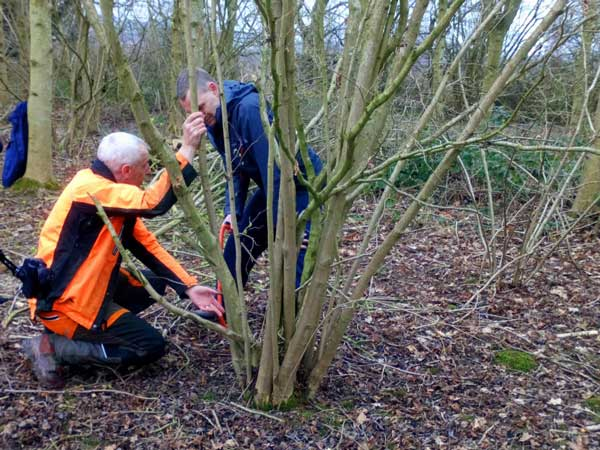David Gray Hazel Coppicing Visit 2019 03
